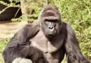 Видео: В США 4-летний мальчик упал в вольер к гориллам.