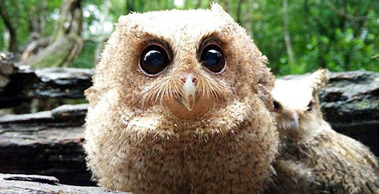 The-rescued-owlets-who-conquered-millions-of-Chinese-vinegret (2)