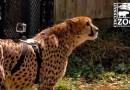 Видео: Камеру GoPro прикрепили к гепарду и посмотрели движение животного от первого лица.