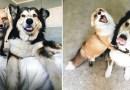 Одомашненная лиса и пес стали лучшими друзьями.