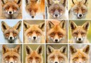 Фотограф своими работами доказывает, что каждая лисица — это личность.