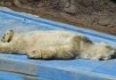Мир всколыхнула неприятная весть — в зоопарке Аргентины, после 22 лет неволи, скончался полярный медведь…