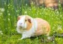 Видео: Морская свинка, которая не очень любит делиться едой.