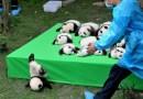 Видео: Детеныш большой панды смешно бухнулся с платформы.