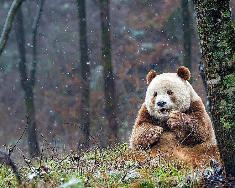 abandoned-brown-panda-qizai-vinegret-12
