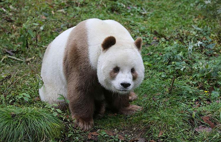 abandoned-brown-panda-qizai-vinegret-3