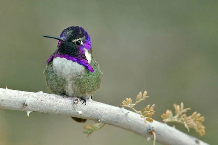 kolibri-s-neobichnim-golovnim-uborom-privlekaet-vnimanie-samki-vinegret
