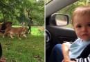 Как ребенок отреагировал на появление огромных львов? [Видео]
