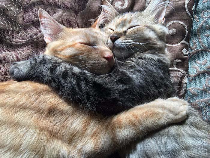 cats-kissing-in-love-louie-luna-vinegret-6