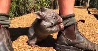 Видео: Маленький вомбат полюбил людей, которые его спасли.