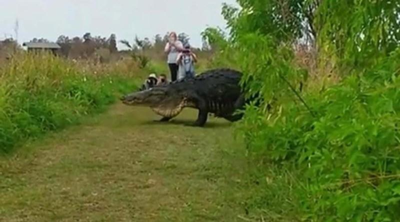 Жители Флориды засняли аллигатора размером с автомобиль. [Видео]