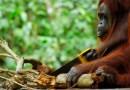 Посмотрите на этого орангутана и вы поймете от кого мы произошли. [Видео]
