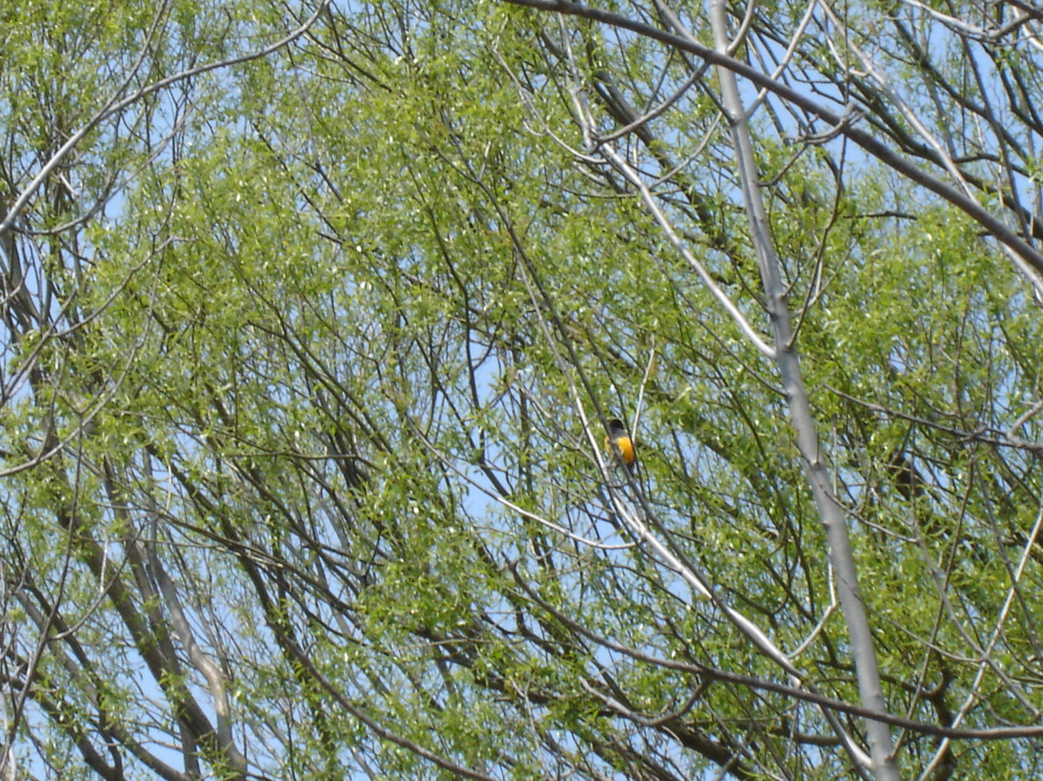 I think this is a Baltimore Oriole