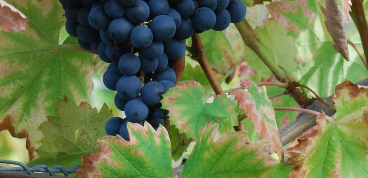 Variedade de uva – Monastrell e/ou Mourvèdre
