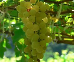 Chenin Blanc – uma variedade de uva subestimada