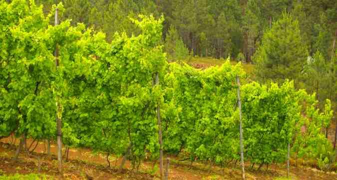 Saiba o porque do nome Vinho Verde – Portugal