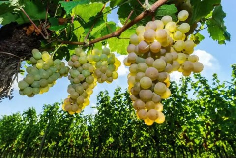 How to Find the Best Moscato Wine - Vino Del Vida