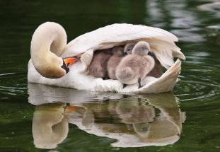 A Swan with three chicks under the wing