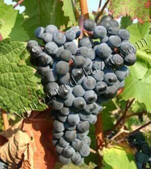 Описание сорта винограда Дорнфелдер: фото и отзывы ...