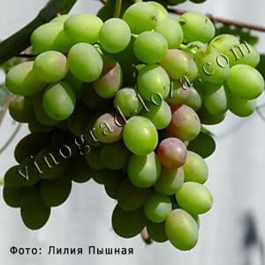Описание сорта винограда Каталония: фото и отзывы ...