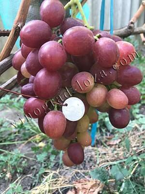 Описание сорта винограда Ливия: фото, видео и отзывы ...