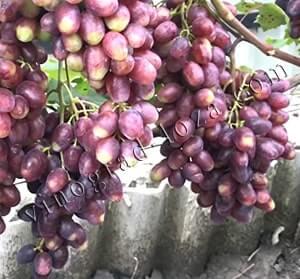 Описание сорта винограда Румейка: фото и отзывы | Vinograd ...