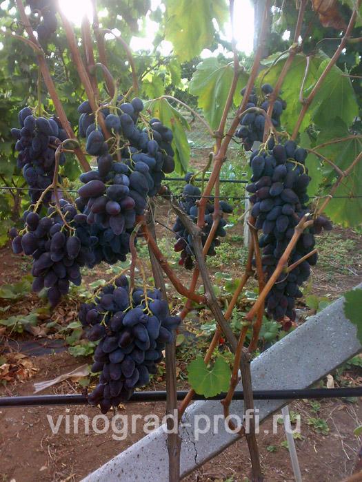 Каталог сортов столовые сорта винограда сорт Ромэо