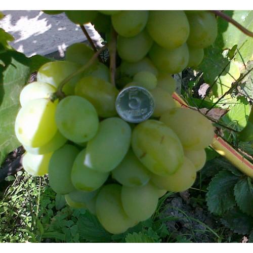Виноград Новый Подарок Запорожью - фото,описание,цена ...