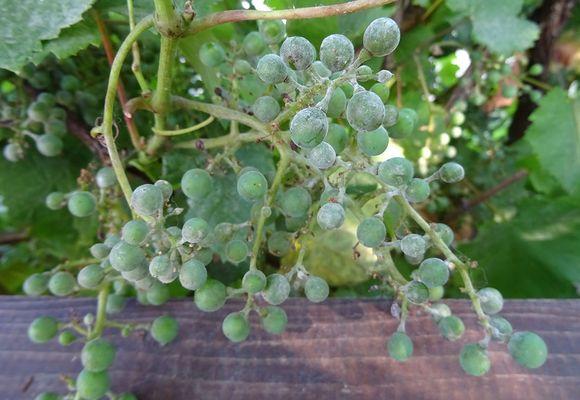 Болезни винограда: как проедотвратить, распознать и вылечить