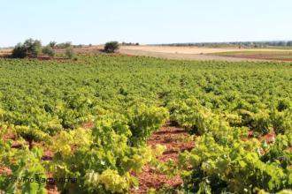 Vineyard, Spain
