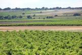 Vineyard La Mancha, Spain