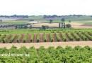 El viñedo de regadío en España supone el 38,6% de la superficie total.