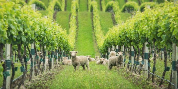 ovejas en el viñedo