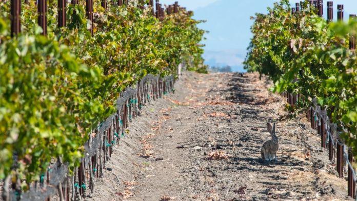 conejos se comen los viñedos