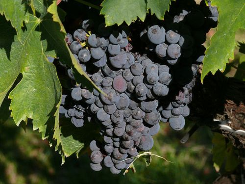 Photos of the Montefalco Sagrantino grape by zyance  under a Creative Commons Attribution-Share Alike 2.5 Generic license