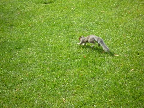 庭院的草坪上拍到了小松鼠