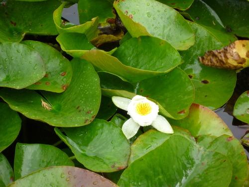雨后的池塘里,还能看到一朵荷花,简直像回到了中国