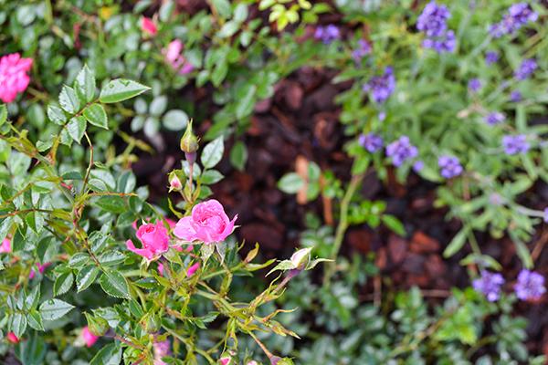 Gartenarbeit im Frühjahr, Rose Knirps