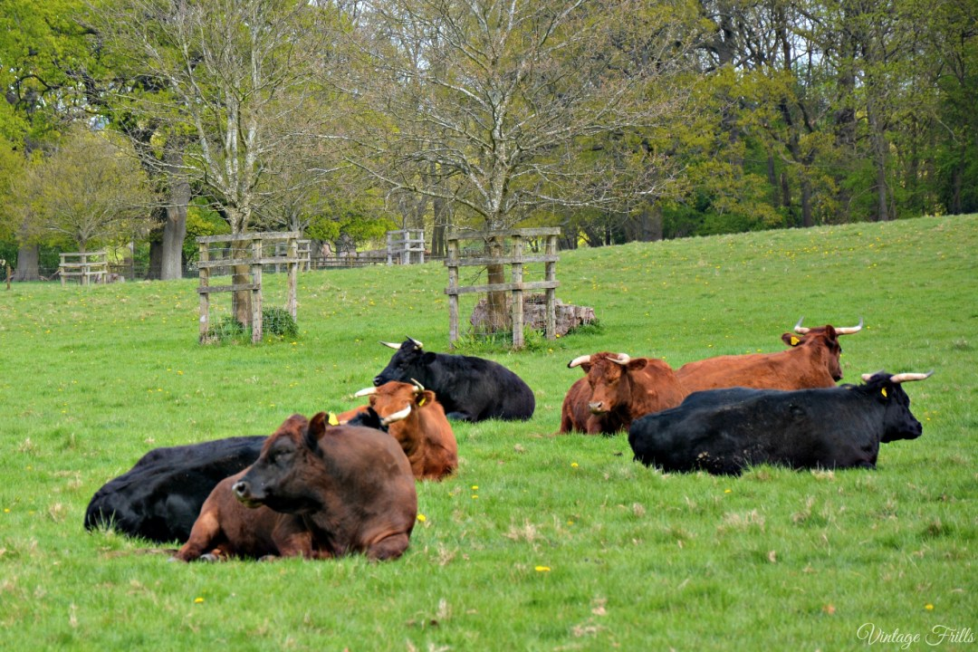 Hatchlands Cows in Field