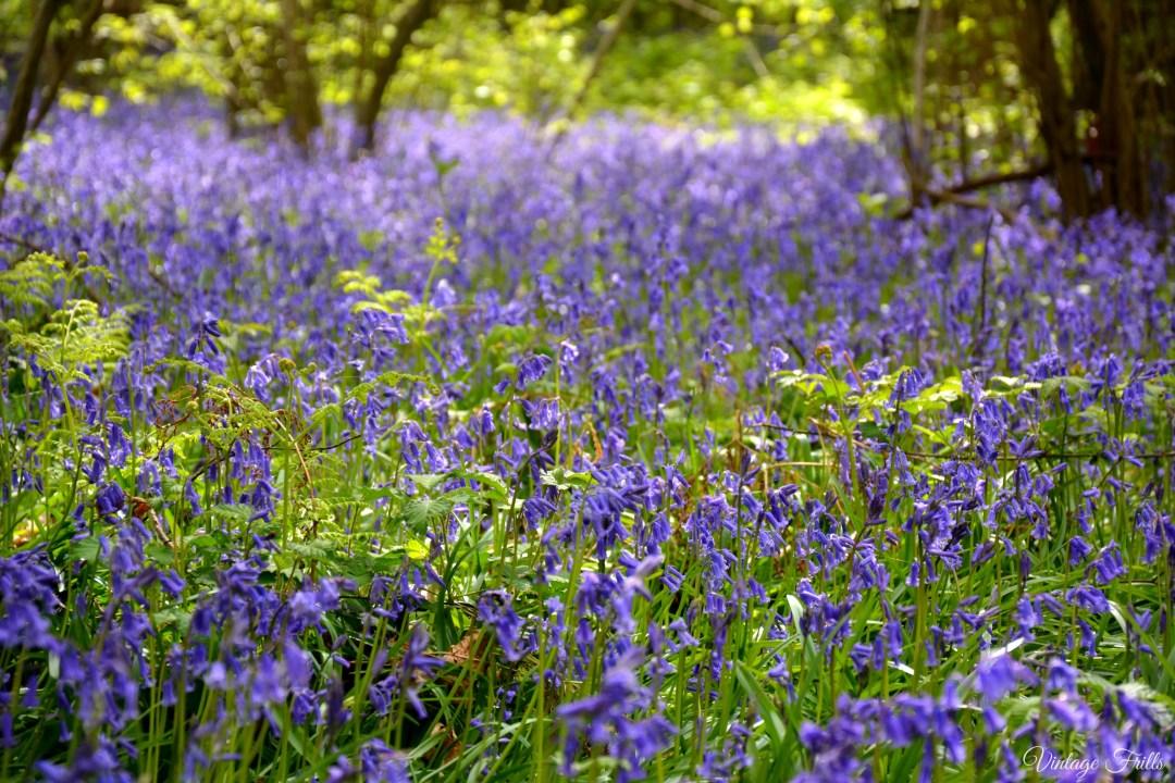 Hatchlands Park Bluebell Walk