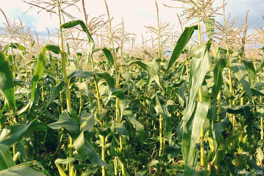 Corn Field Garsons Farm
