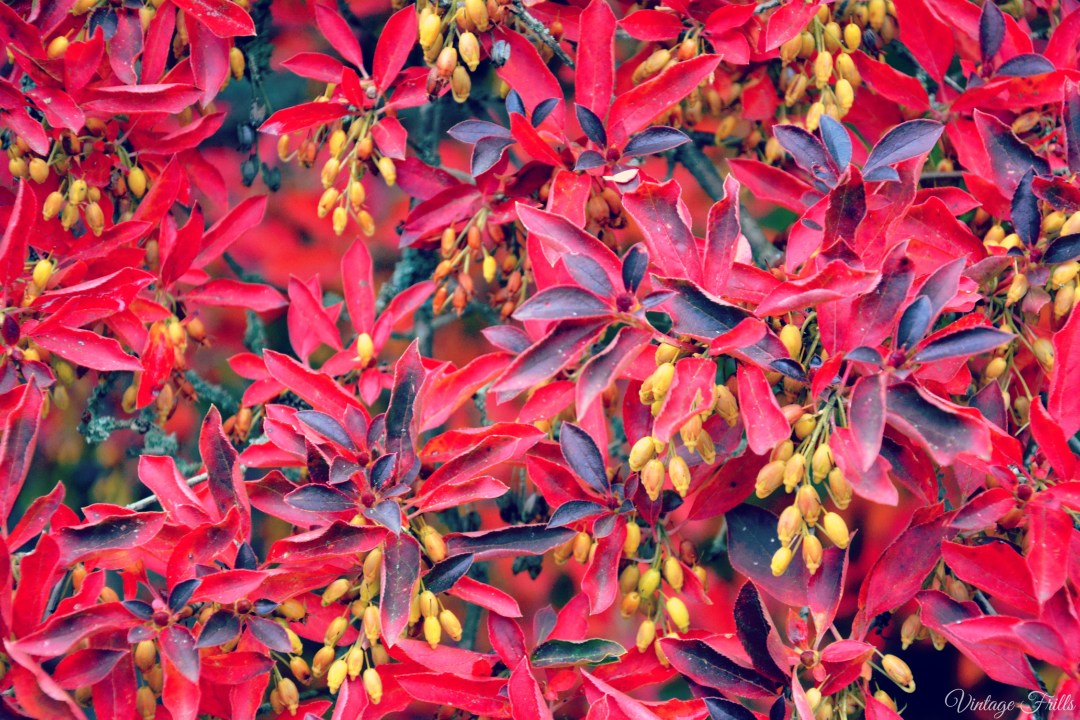 Red Leaves and Berries