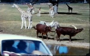 A still image from a vintage home movie taken at Plymouth Zoo and Longleat safari park in the late 1960s
