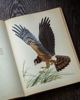 Ястреб. Иллюстрация из книги 1950 года. Артикул: msb009