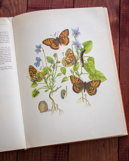 Бабочки. Иллюстрация из книги 1968 года. Артикул: tcbbic_pl015