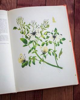 Репница. Иллюстрация из книги 1968 года. Артикул: tcbbic_pl050