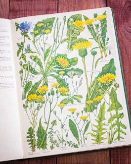 Растения Британии. Иллюстрация из книги 1969 года. Артикул: tcbfic_pl050