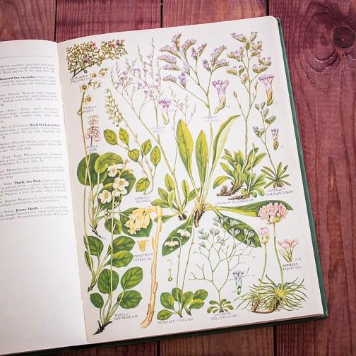 Растения Британии. Иллюстрация из книги 1969 года. Артикул: tcbfic_pl056