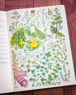 Растения Британии. Иллюстрация из книги 1969 года. Артикул: tcbfic_pl063
