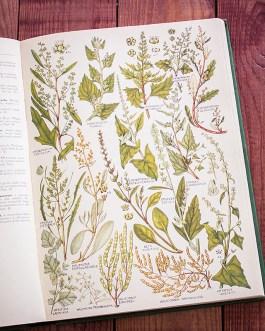 Растения Британии. Иллюстрация из книги 1969 года. Артикул: tcbfic_pl072